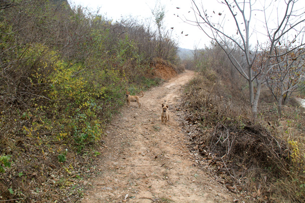 After coming out of the hills we followed dirt roads to finish the hike, passing these friendly dogs along the way - Yajishan Taoist Temples hike, 2014/10