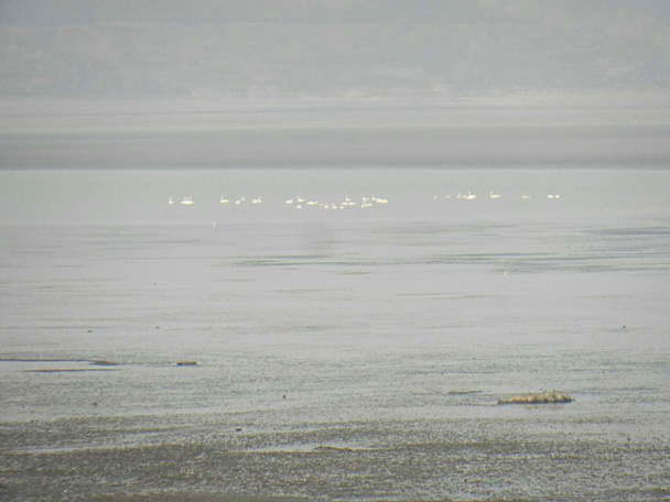 Far away we were able to see a small group of swans - Miyun Reservoir Birdwatching Overnighter, 2014/11