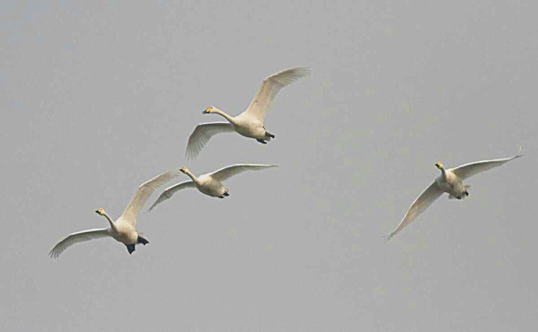 A group of Whooper Swans passed over of us - Miyun Reservoir Birdwatching Overnighter, 2014/11