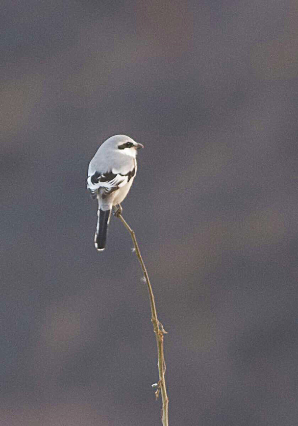 A beautiful Chinese Grey Shrike standing alone on the branch - Miyun Reservoir Birdwatching Overnighter, 2014/11