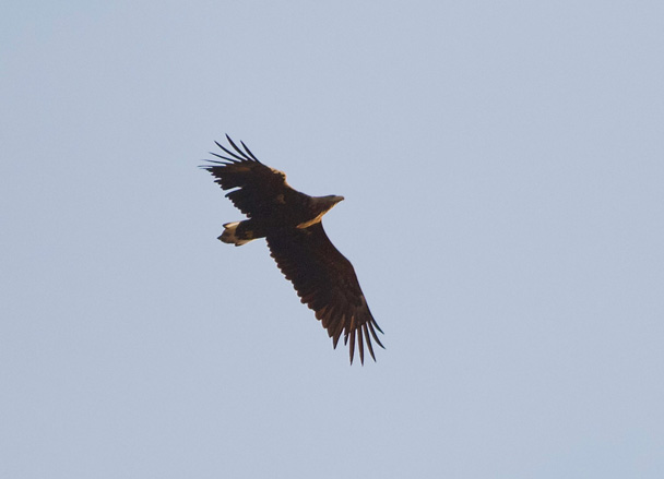 A white-tail Eagle - Miyun Reservoir Birdwatching Overnighter, 2014/11