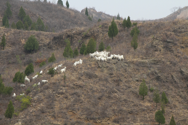 A herd of goats foraging for fresh shoots - Private hike for Beanstalk International Bilingual School, 2015/04/15