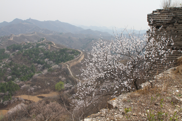 Spring blossoms with the wall stretching off into the distance - Private hike for Beanstalk International Bilingual School, 2015/04/15
