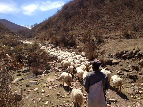 The countryside version of bad traffic: about a hundred sheep covering the path we wanted to follow - Dahaituo Mountain hike, 2015/04/25