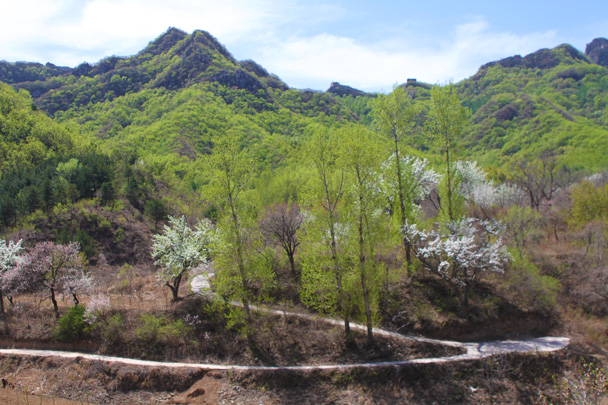 Great Wall in the background, green leaves and the flowers of wild apricot and pear trees in the foreground - Earth Day Clean Up Hike at Jiankou, 2015/4/25