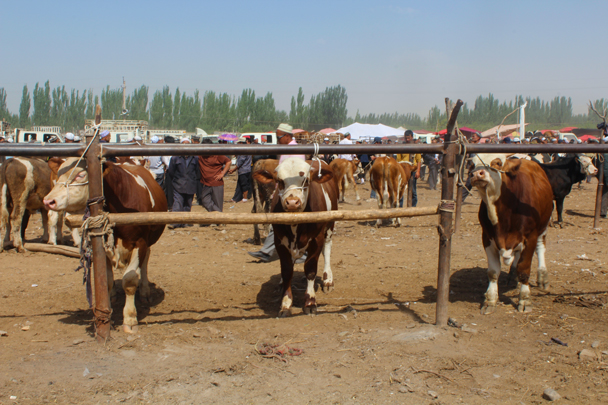 Cows for sale - Along the Silk Road from Korla to Kashgar, 2015/06