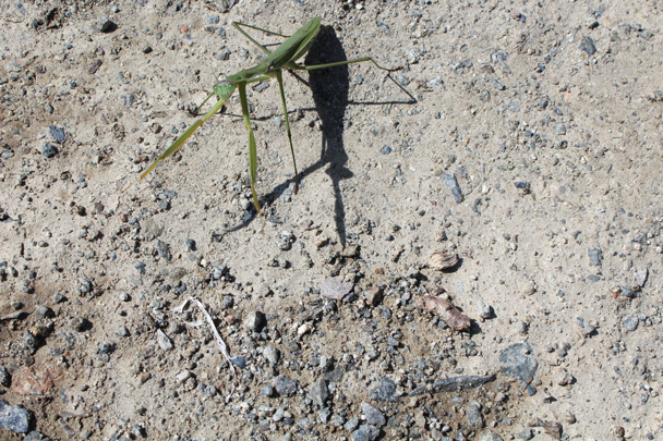 A praying mantis on the road - High Rise hike to the Walled Village, 2015/09/26