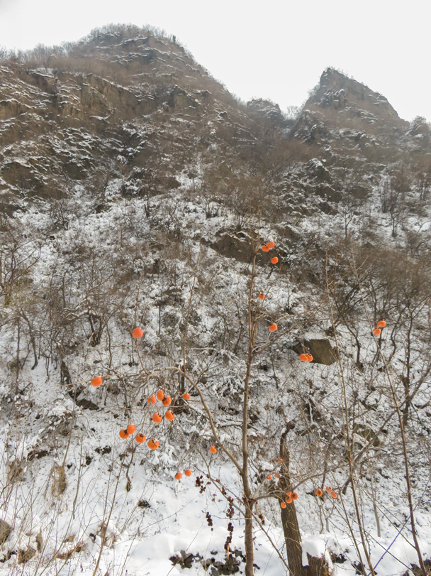 Persimmons, frozen on the tree. Tasty once thawed! - Flower Wood Hillwalking Challenge, 2015/11/28