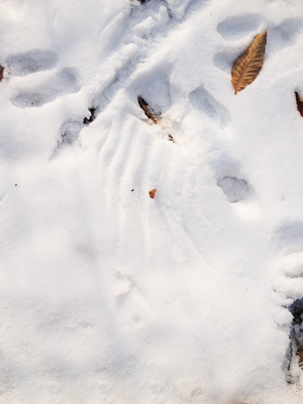 Falcon feather print in the snow, with signs that the rabbit made a getaway - Rolling Hills hike, 2015/11/29