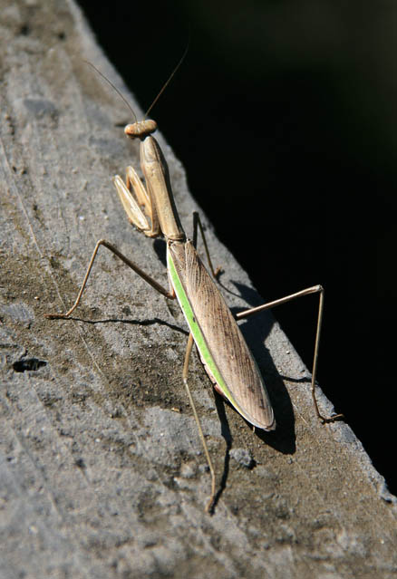 Mantis, spotted on a hike in September 2010