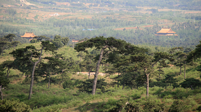 Old pine trees on a hill, with the Western Qing Tombs in the valley beyond