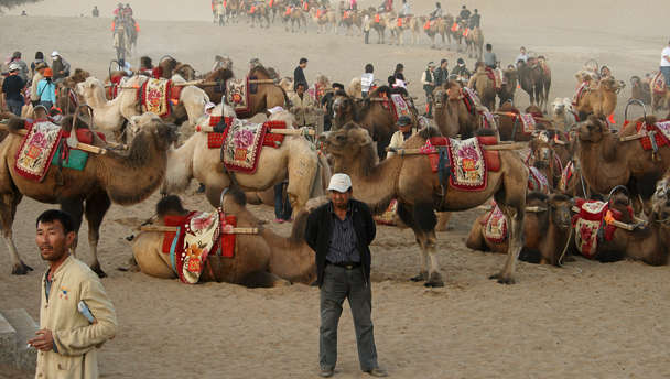 A man with a sour expression stands in front of a gang of camels